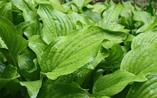 Рецепты приготовления разных частей подорожника для похудения: листья, семена, шелуха