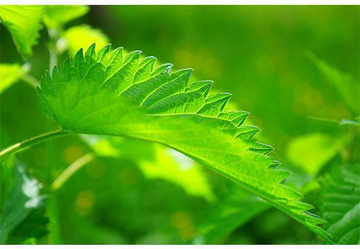 Листья крапивы