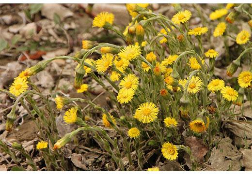Цветы мать-и-мачеха