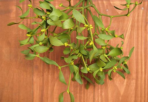 Листья омелы
