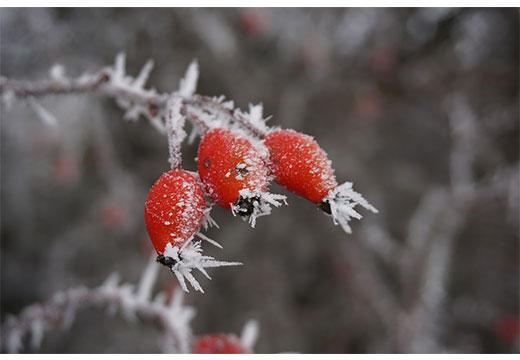 Мороженные плоды