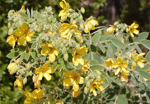 Цветки сенны